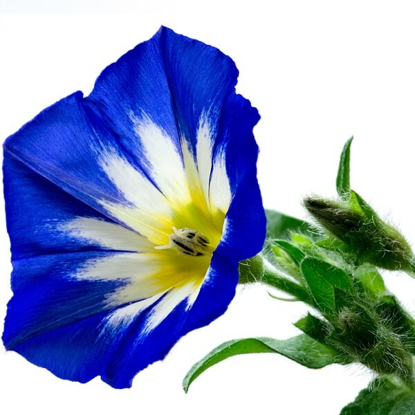 Dwarf Morning Glory - Natural Herbs - pristine organics blog-1