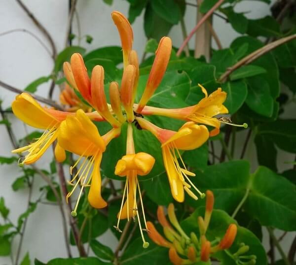 honeysuckle-natural herbs - pristine organics blog-1